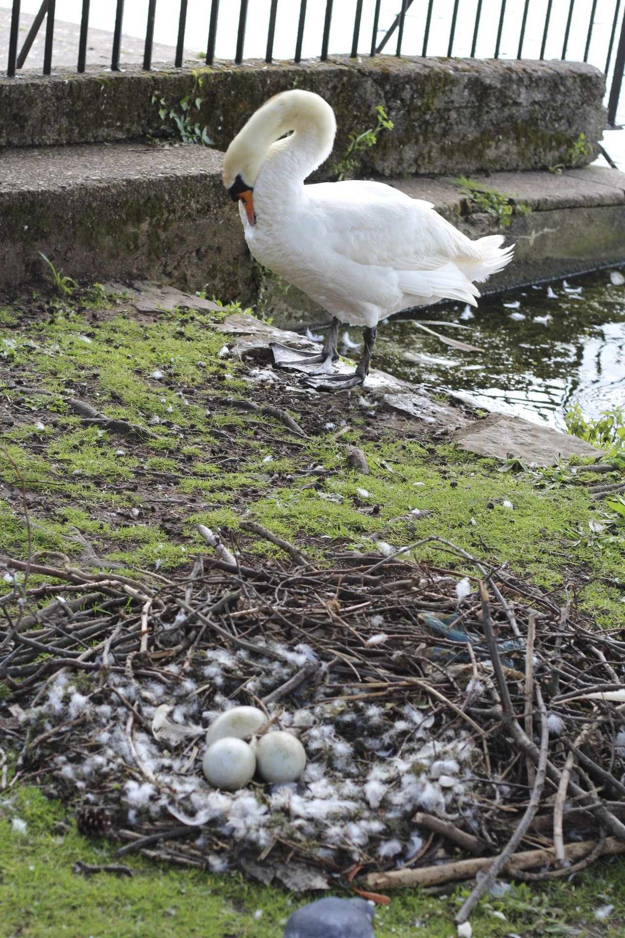 swan with eggs nest